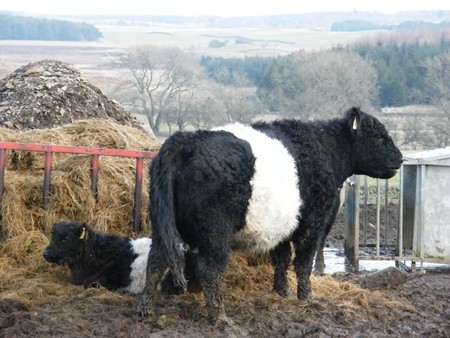 A GALLOWAY COW AND CALF