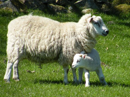 EACH SPRING MANY LAMBS ARE BORN